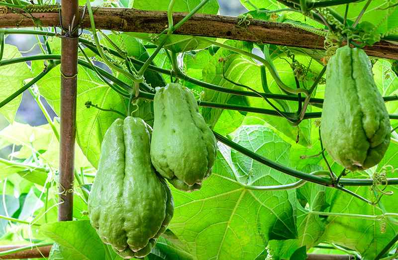 How To Grow Chayote