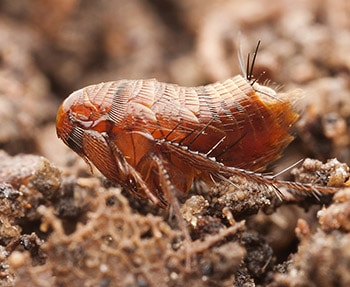 Does lime kill fleas in your garden find out how - What is lime used for in gardening ...