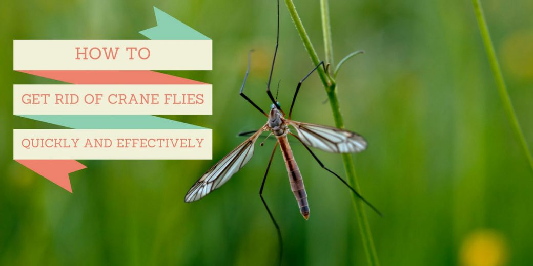 how to get rid of crane flies quickly and effectively. Black Bedroom Furniture Sets. Home Design Ideas