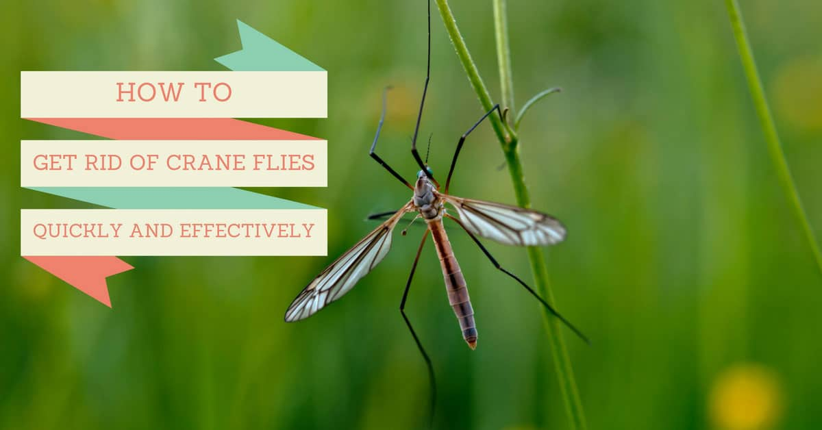How To Get Rid Of Crane Flies Quickly And Effectively