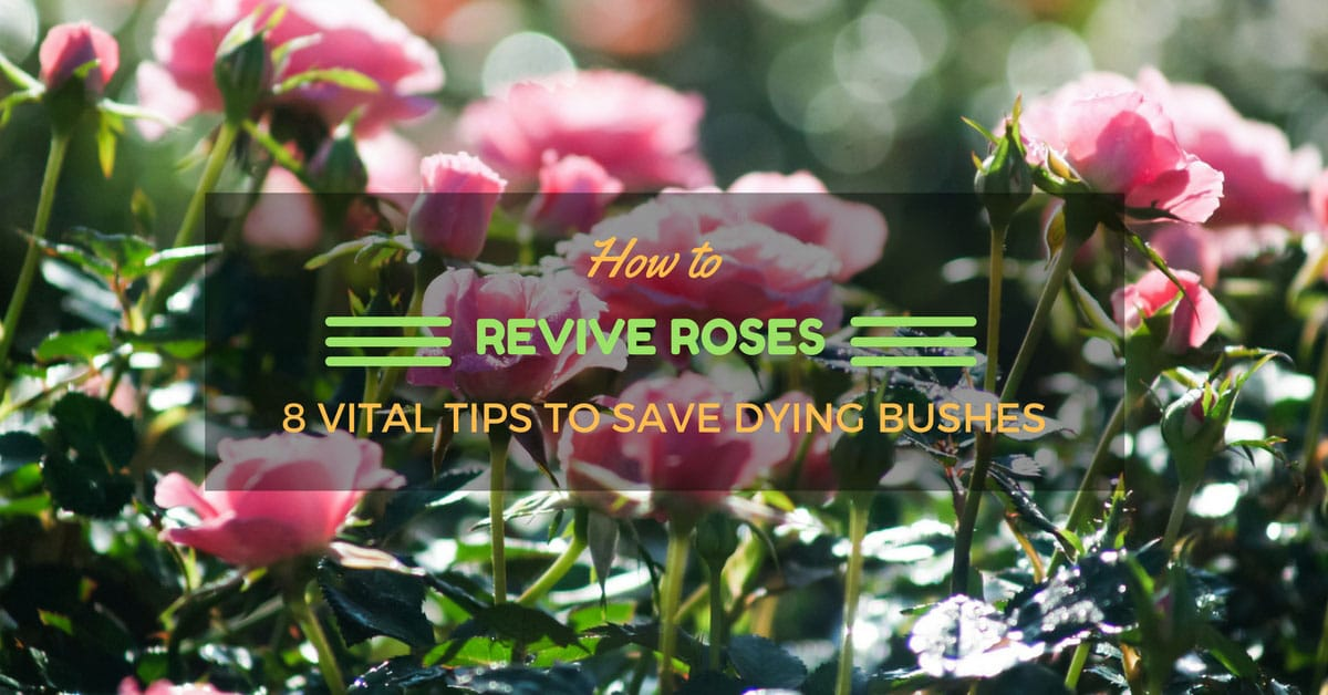 How To Revive Roses 8 Vital Tips To Save Dying Bushes