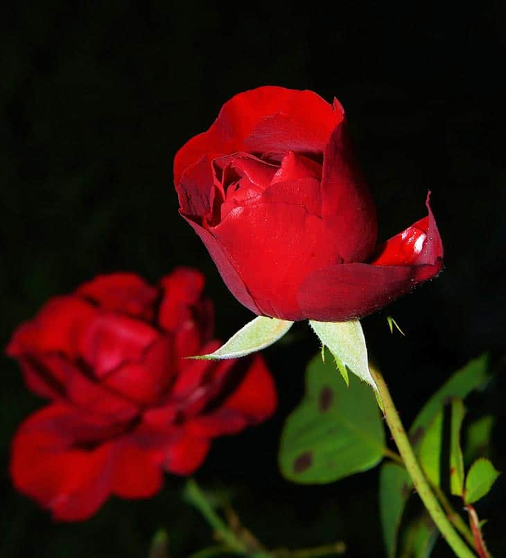 How To Revive Roses