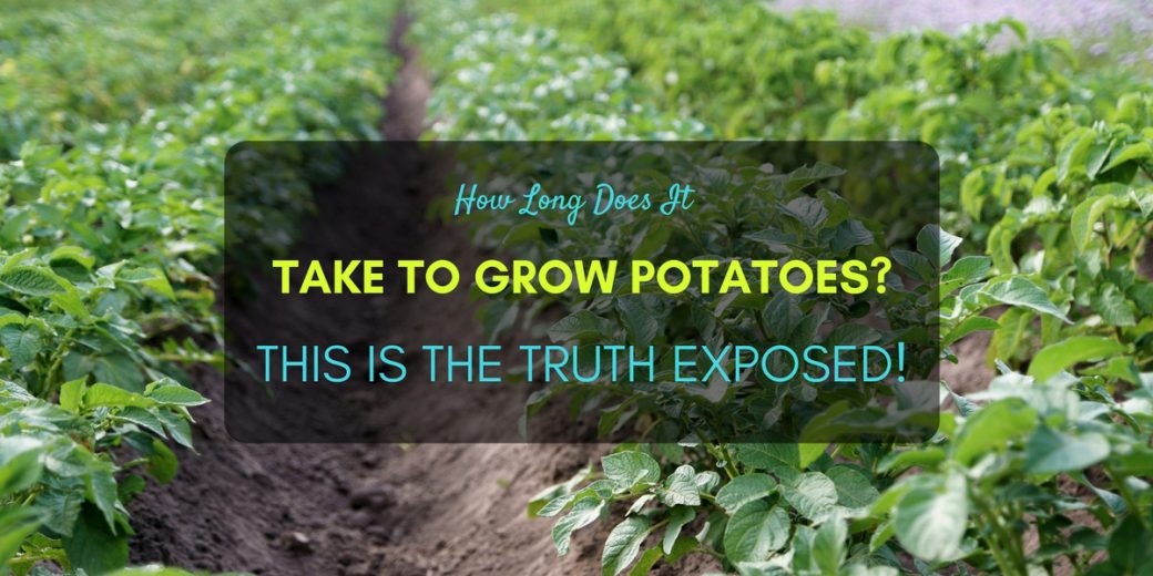 How Long Does It Take To Grow Potatoes  This Is The Truth
