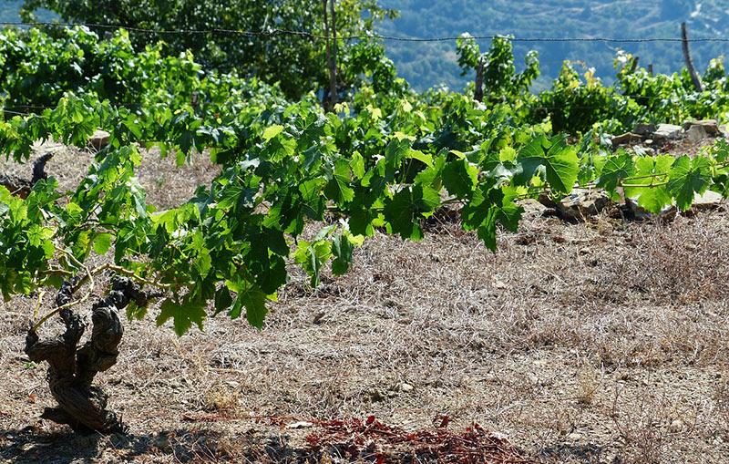 Growing A Grape Tree