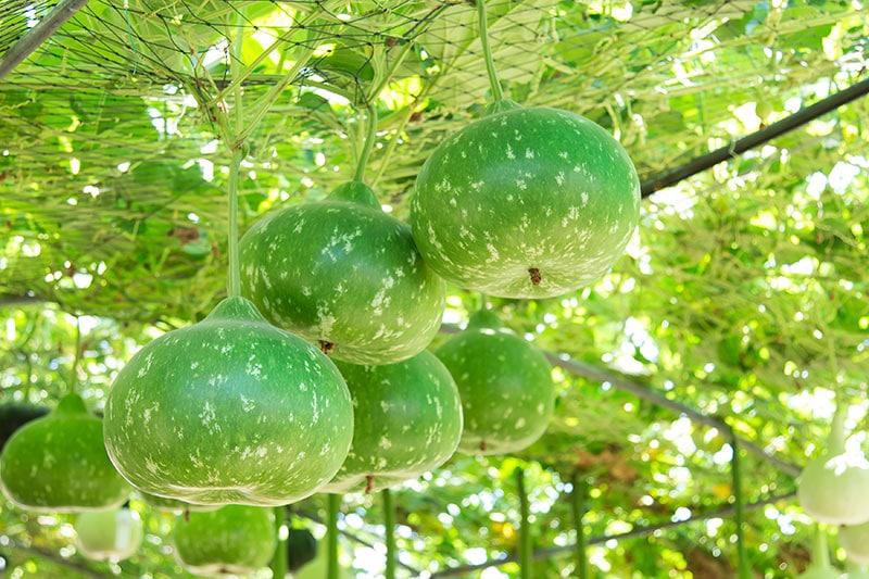 Are Gourds Edible
