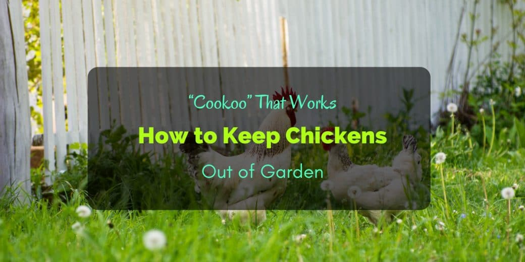 cookoo that works how to keep chickens out of garden