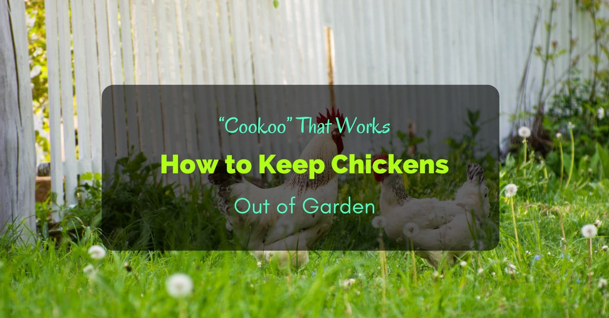 How To Keep Chickens In 28 Images Roysfarm How To Keep