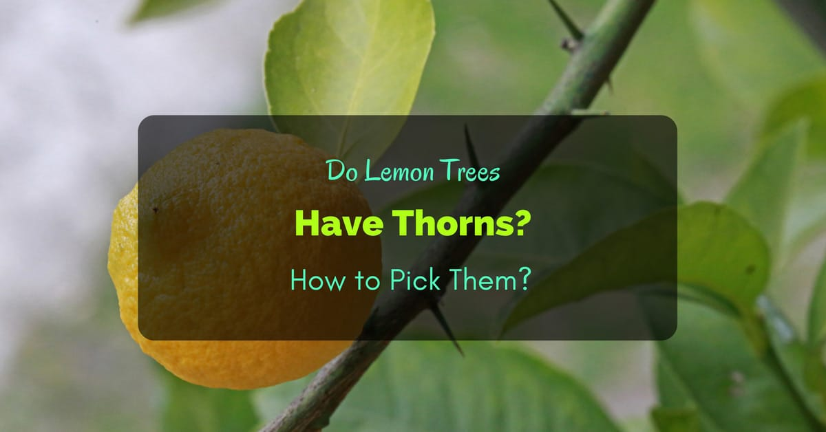 Do Lemon Trees Have Thorns How To Pick Them