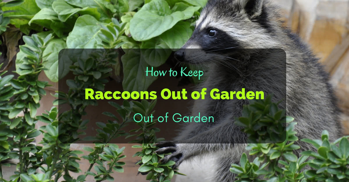 How to keep raccoons out of garden 6 ways How to keep raccoons out of garden