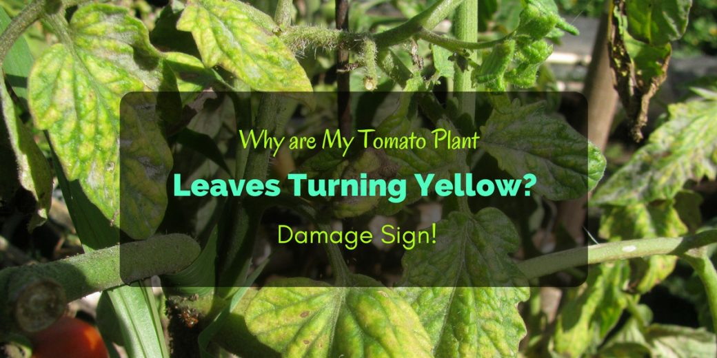 Why are my tomato plant leaves turning yellow damage sign mightylinksfo