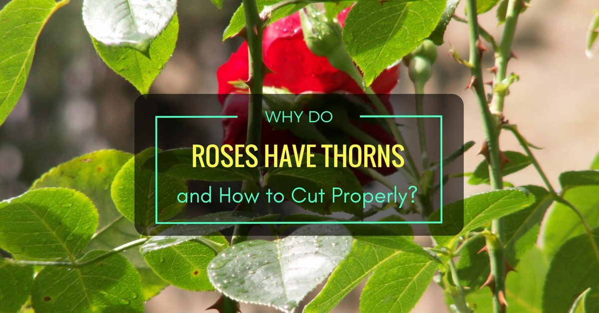 why roses have thorns Why do roses really have thorns is there a big secret behind this, or is the answer so obvious it might just poke us right in the nose let's examine the answer to these questions just a bit.