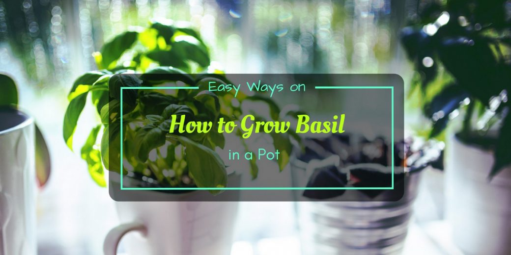 easy ways on how to grow basil in a pot. Black Bedroom Furniture Sets. Home Design Ideas