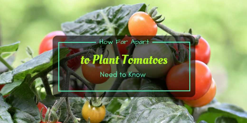 How Far Plant Tomatoes Apart | Cromalinsupport
