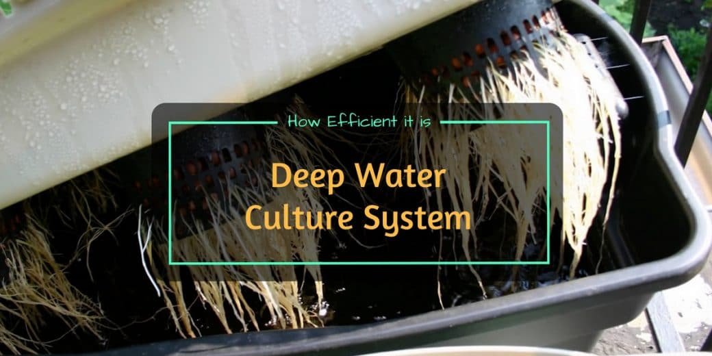 Deep Water Culture System - How Efficient It Is