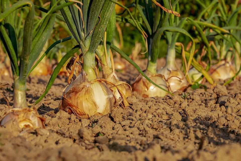 Harvest Onions 4