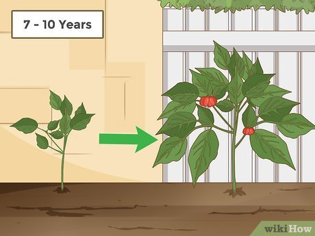 How Long Does It Take to Grow Ginseng