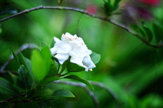 Best Fertilizers For Gardenias 2