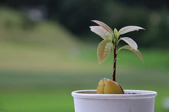 Best Soil for Avocado Tree