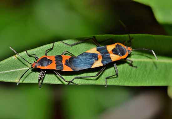 How To Get Rid of Milkweed Bugs