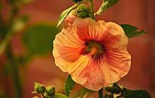 When To Plant Hollyhock Bulbs