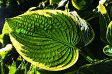 beautiful hostas