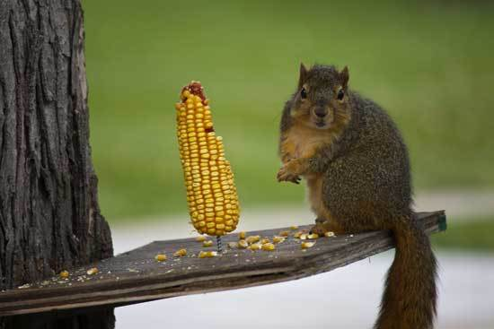 Brown Squirrel Eating Corn