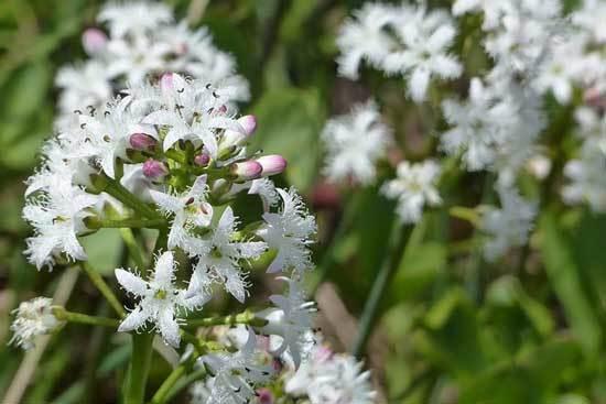 BuckBean Menyanthes Trifoliata