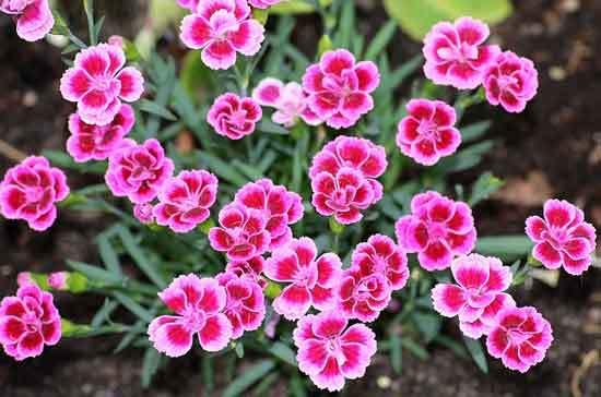 Clove Pink Dianthus Caryophyllus