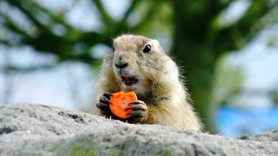 Do Squirrels Eat Carrots
