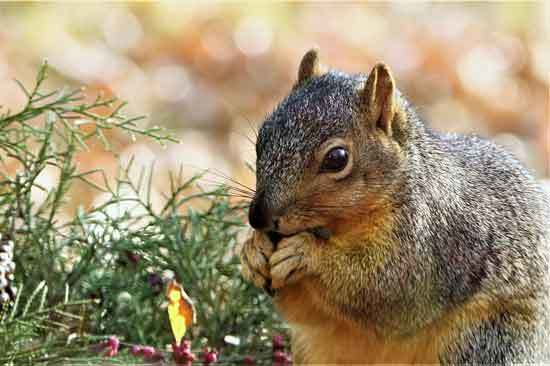 Fox Squirrel Eating Sunflower Seeds