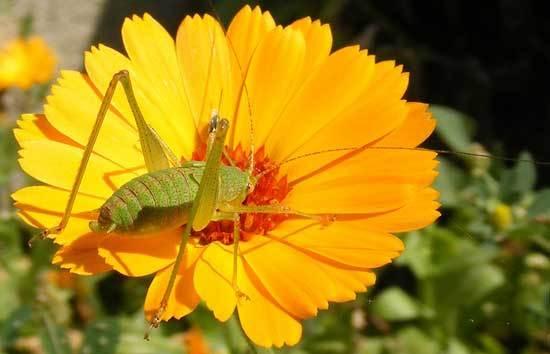 Grasshoppers Eats Marigold