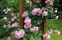 How to Plant A Rosebush