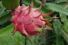 How to Tell When Dragon Fruit Is Ripe