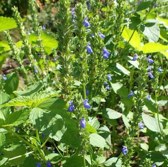 Salvia hispanica