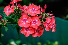 When to Plant Phlox