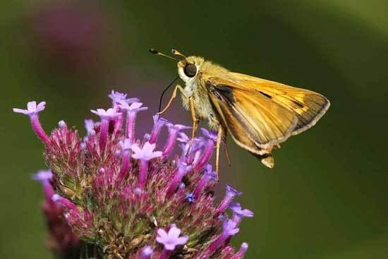phlox bug