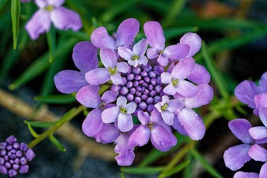 Candytuft Iberis Sempervirens