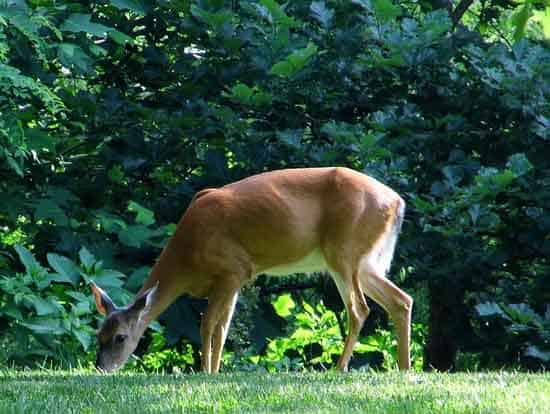Deer eats hosta