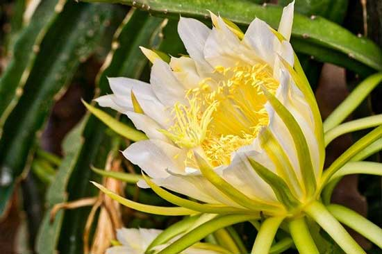 Dragon Fruit Plant Flowers