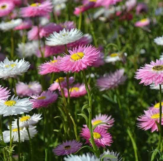 Everlasting Daisy Strawflower