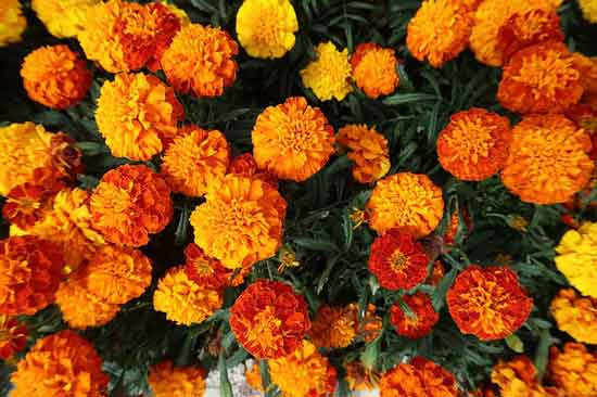 French Marigold Tagetes Patula Tagetes Erecta