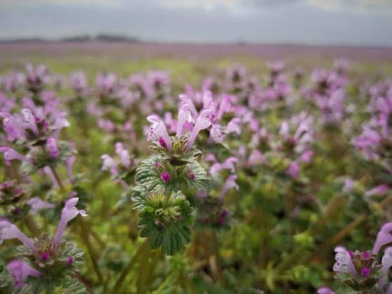 Henbit A Plant or A Weed