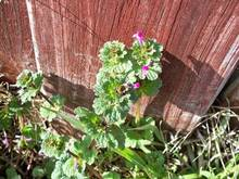 How to Get Rid of Henbit 1