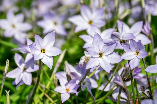 Ipheion Uniflorum Starflower 2