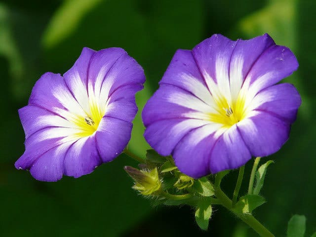 Ipomea Tricolor Morning Glory