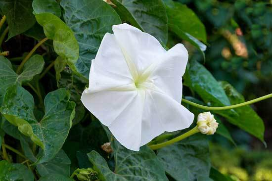 Ipomoea Alba Moonflower