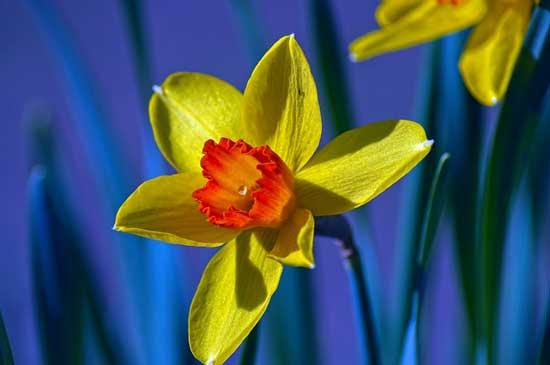 Jonquil Narcissus Jonquilla