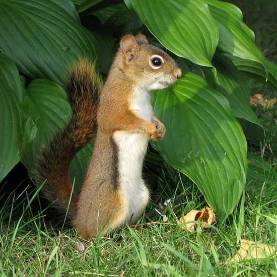 North American Red Squirrel eats hosta