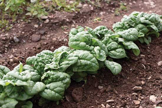 Savoy Spinach Hammerhead Spinach