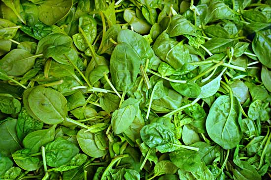 Smooth Leaf Spinach Flat Leaf Spinach